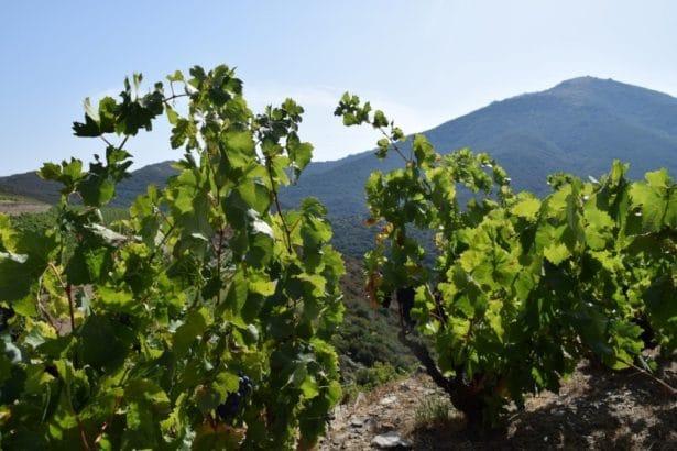 Les Vignes en Languedoc-Roussillon