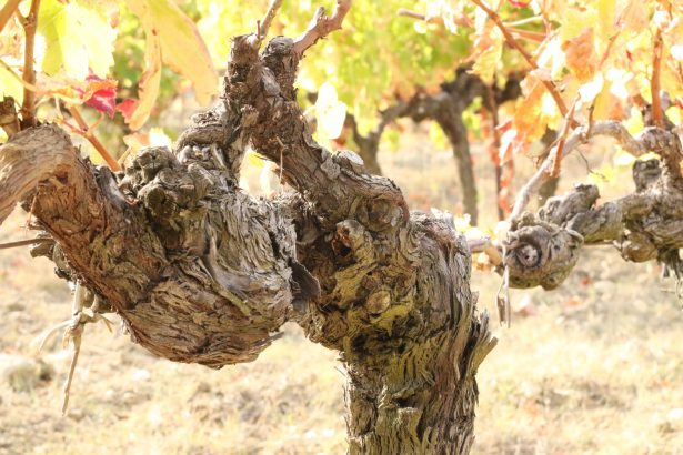 Vignes Costières de Nîmes