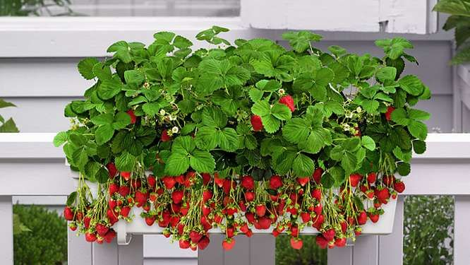 12 plantes et l gumes cultiver sur son balcon. Black Bedroom Furniture Sets. Home Design Ideas